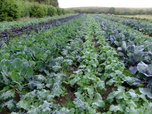 Field of kale and chard