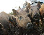 Piggys2