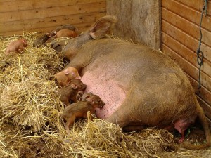 Georgina and piglets