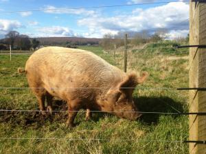 Peppa the pig